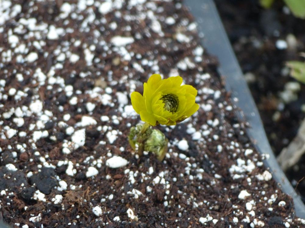 gefülltes Adonisröschen Adonis amurensis Pleniflora