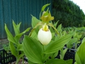 Cypripedium-Hybriden  Kentucky Maxi