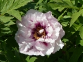 Paeonia x ITOH  Cora Louise  Halbstrauchige Pfingstrose