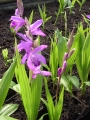 Bletilla striata purple rot  Japanorchidee