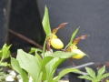 Cypripedium-calceolus Hybriden