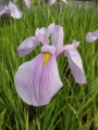 Iris laevigata Rose Queen  Sumpfiris