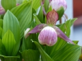 Cypripedium-Vintry Pink -Hybriden